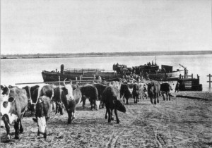 ЭВАКУАЦИЯ СКОТА НА ВОЛГЕ. 1941 г.